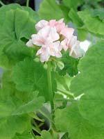 Pelargonium 'Sundborn'