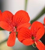 Pelargonium fulgium (vildart)