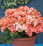Pelargonium x hortorum 'Horizon Orange Ice'