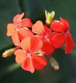 Pelargonium inquinans (vildart)