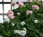 Pelargonium 'Mårbacka' rosa och vit