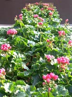Pelargonium 'Patricia Andrea'