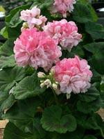 Pelargonium 'Susan Paine'