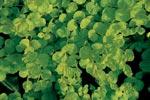 Gulbladigt penningblad, Lysimachia nummularia 'Goldilocks'