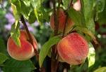 Stenfruktsträd (plommon, aprikos, körsbär, persika) beskärs efter skörden.