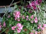 Ton-i-ton-ampel med rosalila petunia och dito diascia.