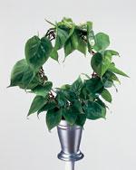 Klätterkalla, Philodendron scandens