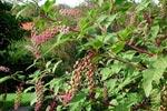 Kermesbär, Phytolacca americana