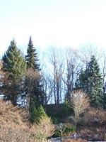 Picea abies, olika former