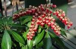 Pieris japonica 'Valley Valentine'.