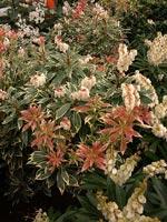 Pieris japonica 'Variegata' på våren