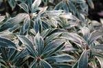 Pieris japonica 'Variegata' på vintern