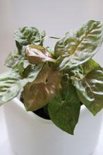 Pilspetsranka Syngonium podophyllum 'Blenda'