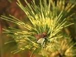Pinus 'Oculus Dragonis'