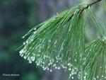 Pinus peuca med dropp