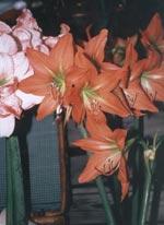 Det är alltid lika spännande att följa en amaryllis från torr lök till strålande skönhet.