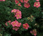 Potentilla fruticosa 'Lovely Pink', Ölandstok