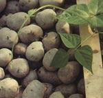 Sättpotatis är en av de växter du aldrig får ta med dig hem från utlandet utan restriktioner.