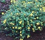 Potentilla fruticosa 'Longacre' E, Ölandstok