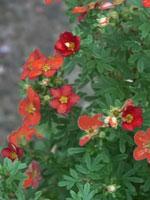 Potentilla fruticosa ''Red Ace'