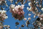 Prunus 'Accolate'