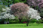 Prunus nipponica mfl i full blom