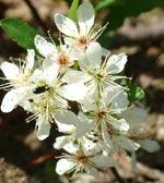 Prunus pumila var. depressa