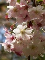 Prunus subhirtella 'Autumnalis' höstkörsbär