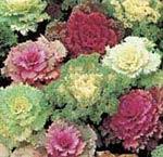 Brassica oleracea, prydnadskål