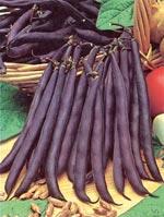 Purpurböna 'Purple Teepee'