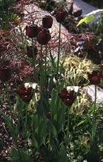 Tulipa 'Queen of Night' och 'Black Parrot' + gulvariegta gräs