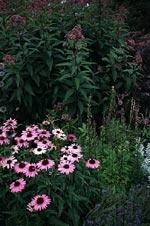 Detalj senare på sommaren: röd solhatt, rosenflockel m.fl. blommar nu.