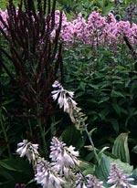 samma färgskala men andra växter: blådaggig funkia, svart nysrot, axveronika (blommar ej ännu), lilarosa höstflox, blå bolltistel (på bakgrunden)