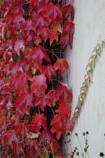 Parthenocissus tricuspidata 'Veitchii', rådhusvin