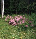 I 25 års tid har denna rhododendron växt i sandbädd, gödslad med gräsklipp. Som synes trivs den utmärkt trots att pH-värdet har legat runt 7 under hela denna tid.
