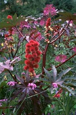Ricinus communis 'Carmencita'