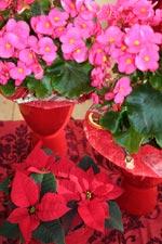Röd Jul med begonia och julstjärna