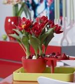 Röda tulpaner i röd skål