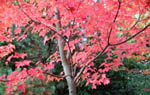 Acer rubrum 'October Glory', rödlönn