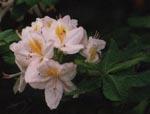 Rododendron finns i många storlekar och färger.