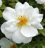 Rosa 'Nevada'