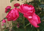Rosa 'Morsdag'