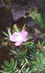 Rosa nitida, Dockros