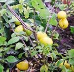 Rosenkvittensort med päronformade frukter.