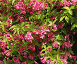 Rosenprakttry 'Korea', Weigela florida 'Korea' E
