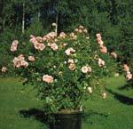 Rosen Lill Lindfors trivs bra med den blomjord som tillverkas av sand, gräsklipp och kompostjord.
