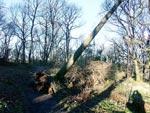 Farligt lutande lövträd