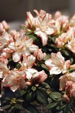 Rumsazalea (Rhododendron Simsii)