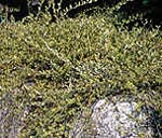 Salix repens 'Grey Carpet' E, Krypvide