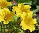 Salpiglossis sinuata. F1 'Yellow Royale'
